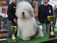 Internațional Dog Show 2013. 1.700 de câini din 19 ţări se întrec la Satu Mare
