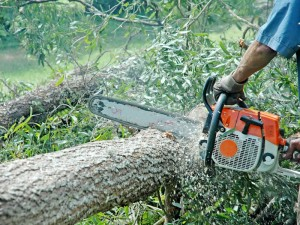 furt arbori Sacaseni