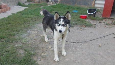 metis huski, adoptie