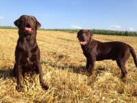 Labradorul ciocolatiu din canisa ClausWeb – cadoul perfect de Crăciun