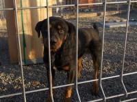Ia-l acasă: Metis de rottweiler, oferit spre adopție