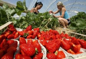 Strawberry season kicks off in Germany