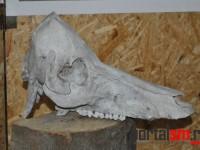 expozitie artefacte de os  (21)