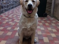 Câine de rasa Labrador pierdut în zona Titulescu
