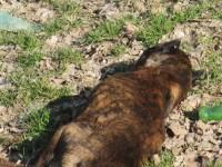 Lupte de câini la Satu Mare? Pitbull găsit mort (FOTO)