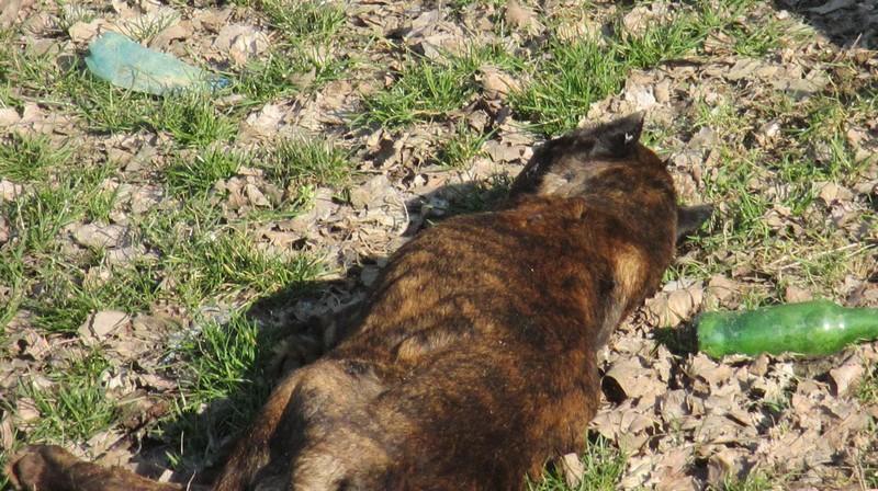 pitbull mort, Satu Mare