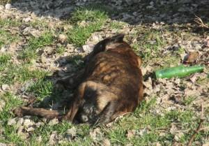 pitbull mort