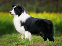 Top 5 cele mai inteligente rase de câini, potrivite pentru orice casă