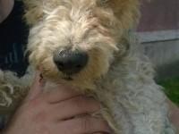 Câine fox-terrier găsit în Micro 16. Se caută stăpâni