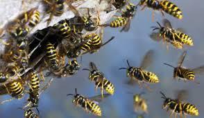 roi cu viespi
