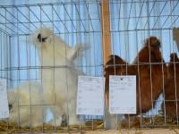 expo pasari, iepuri 2016 (105)