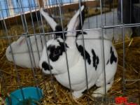 expo pasari, iepuri 2016 (70)