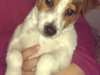 Cățeluș rasa Jack Russell Terrier, pierdut în zona Titulescu