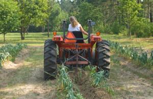 Rear View Of Female Farmer On Tractor Harvesting Elephant Garlic