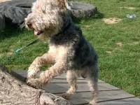 Fox terrier de cinci ani oferit spre adopție. Câinele a fost abandonat la Podul Tehnologic